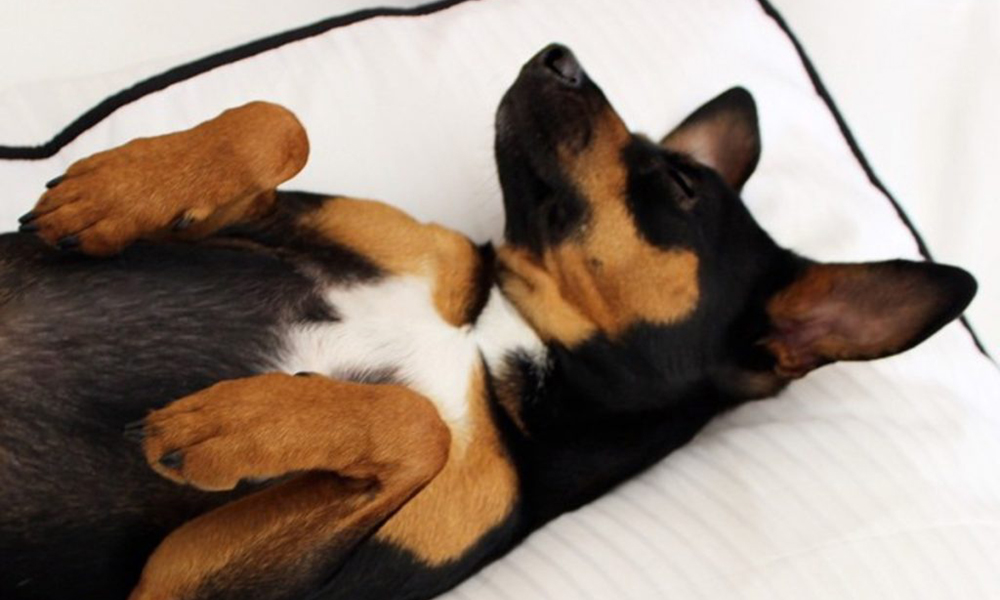 St. Regis Park City Dog